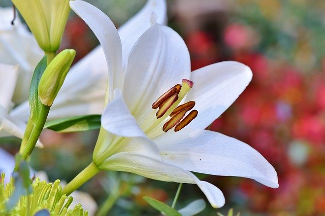 lily for meditation
